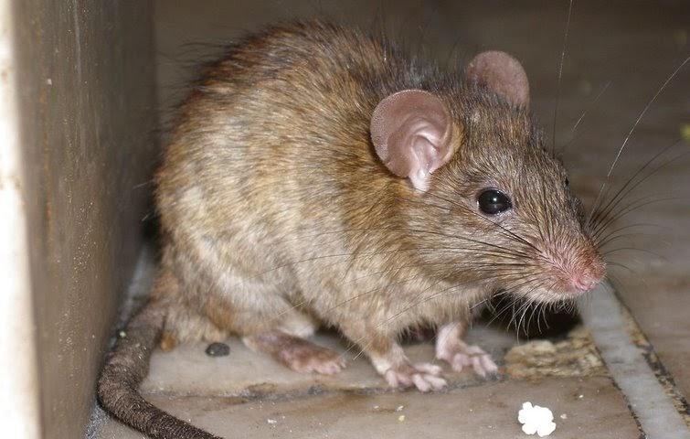 undgå rotter i vaskekælderen